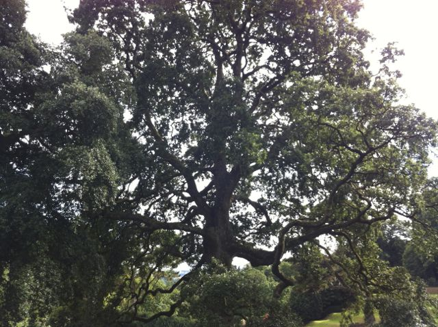 Oak Tree Dartington Hall