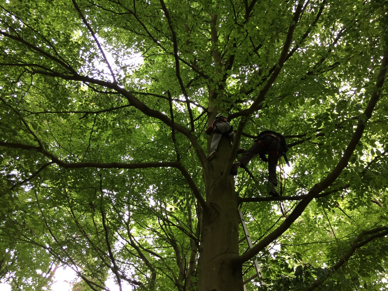 A kid, supported with a harness, climbs ten metres up a tall beech tree at Hazel Hill