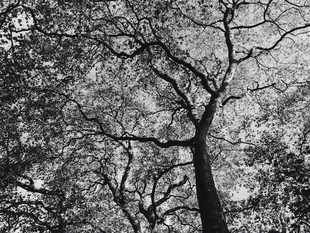 Black and white image of a tree canopy in winter, looking a bit like a series of river tributaries joining together.